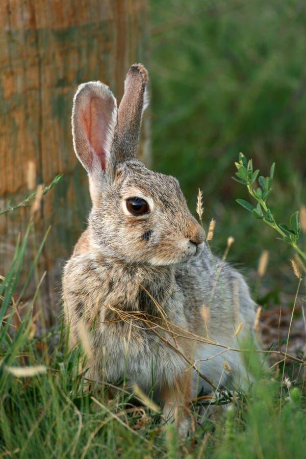 Conejo de conejo de rabo blanco del desierto foto de archivo libre de regalías