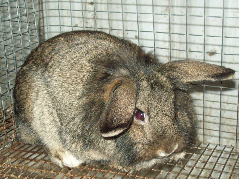 Conejo de Mini-Lop/Lionhead fotografía de archivo