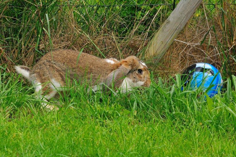 Conejo de orejas ca3idas en un prado imágenes de archivo libres de regalías
