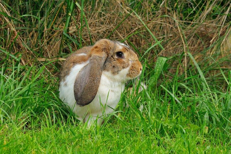 Conejo de orejas ca3idas en un prado fotos de archivo libres de regalías
