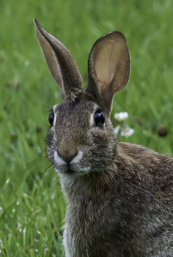 Conejo de conejo de rabo blanco con mirada torpe foto de archivo