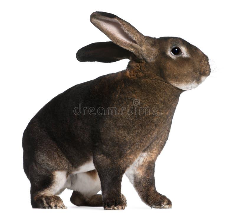 Conejo de Rex del echador imagenes de archivo