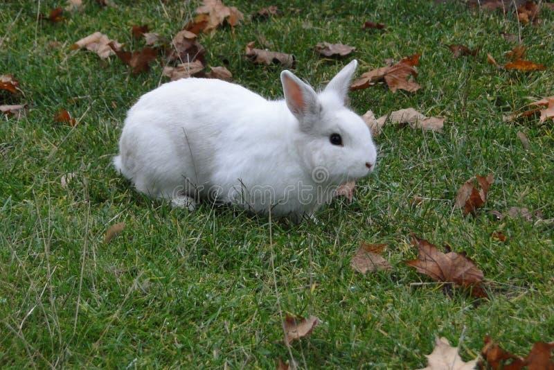 Conejo de Whithe en un césped verdoso fotografía de archivo libre de regalías