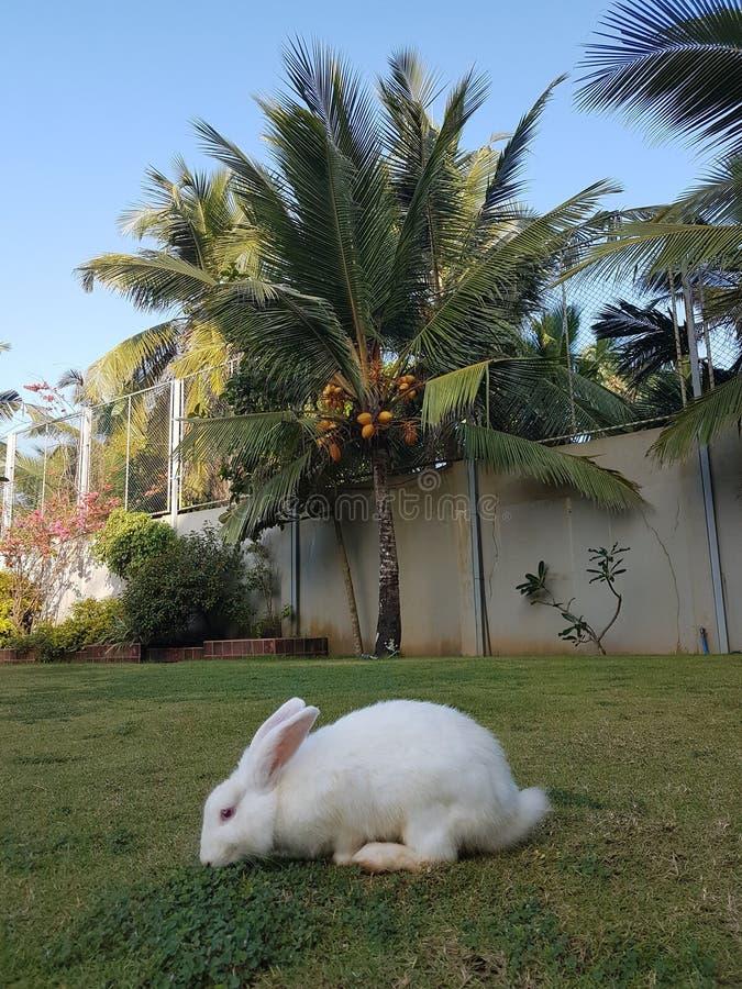Conejo del jengibre que se sienta en el césped verde fotografía de archivo