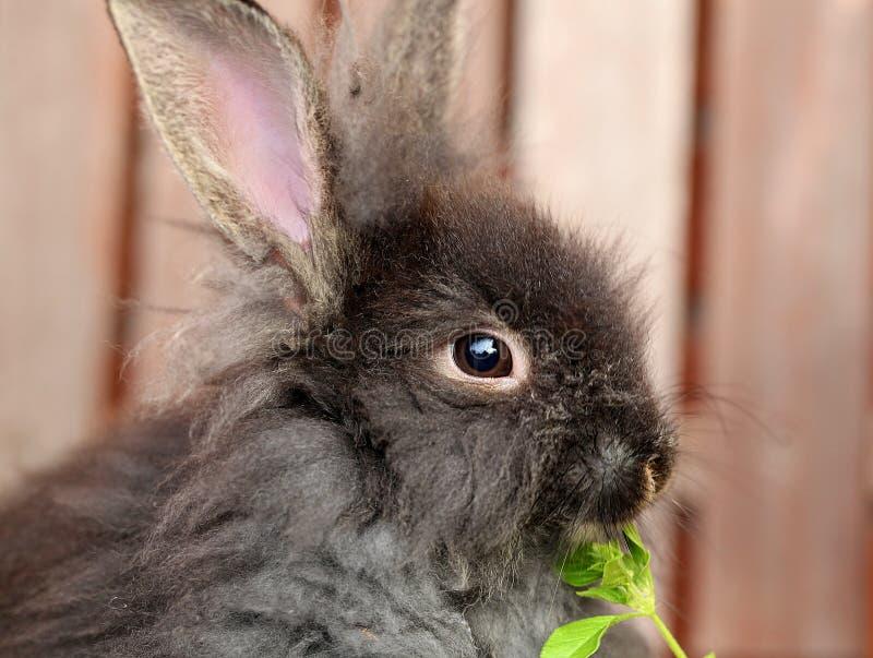 Conejo del león que come las hojas del verde fotos de archivo