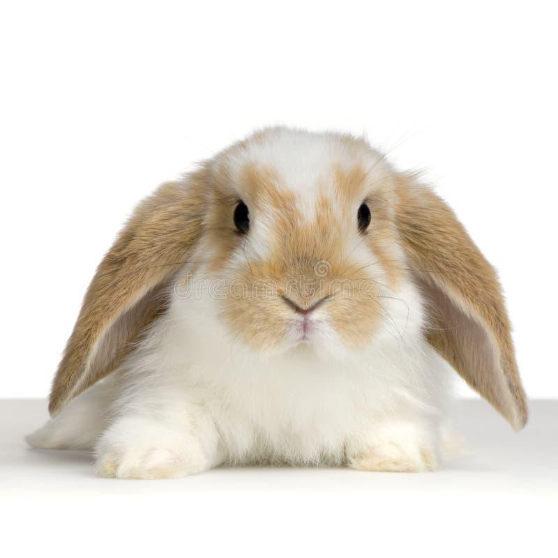 Conejo del Lop imagen de archivo libre de regalías