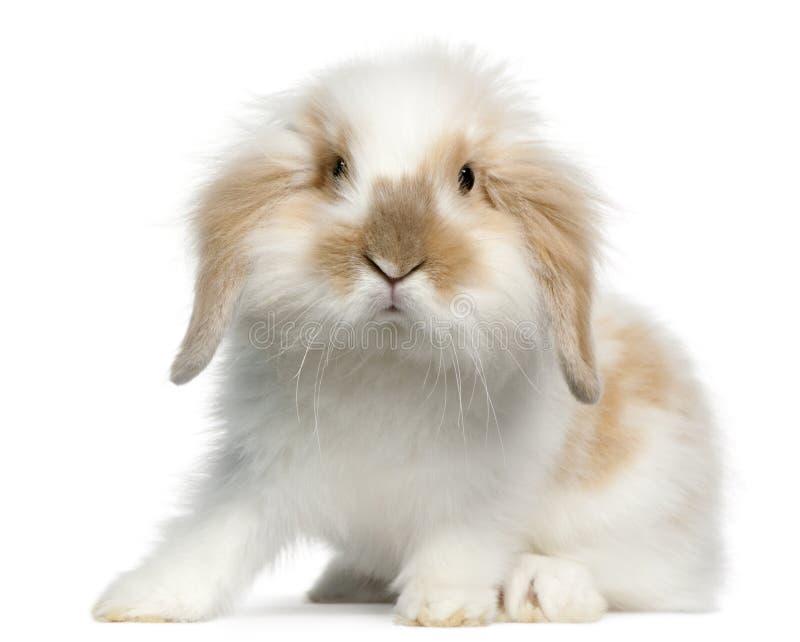 Conejo del Lop, 6 meses fotografía de archivo