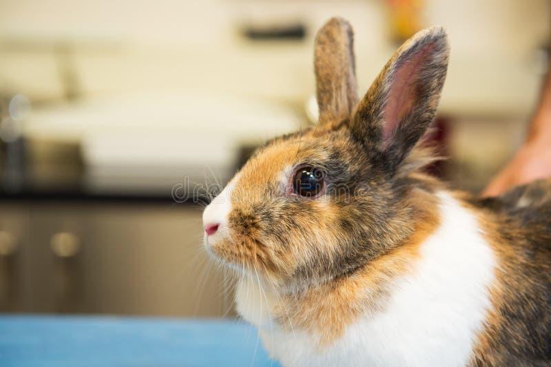 Conejo en el veterinario fotografía de archivo libre de regalías