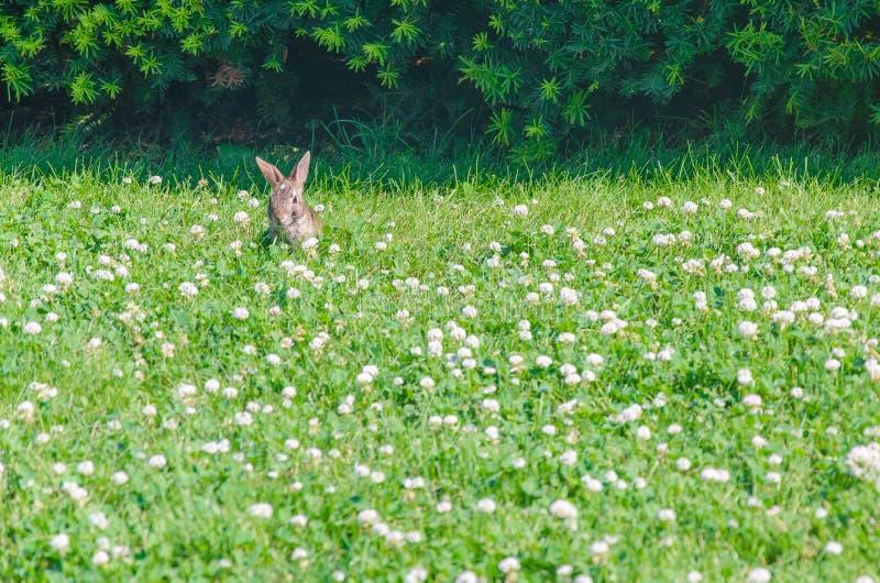 Conejo en la hierba foto de archivo
