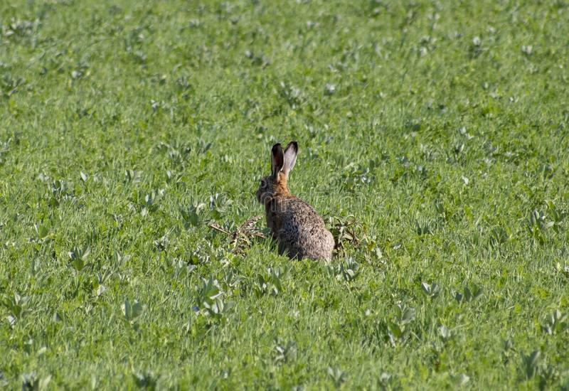 Conejo en un campo fotografía de archivo