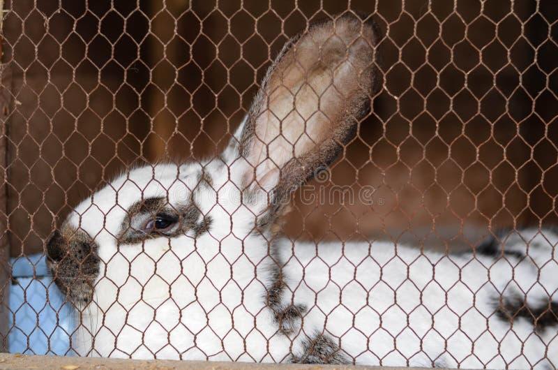 Conejo en una jaula fotos de archivo libres de regalías