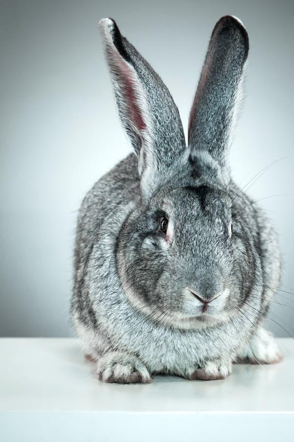 Conejo europeo o conejo del campo común, 2 meses, cuniculus del Oryctolagus imagen de archivo libre de regalías