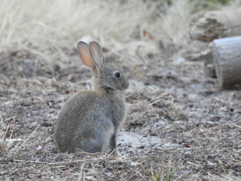 Conejo europeo que se sienta pacífico imagen de archivo