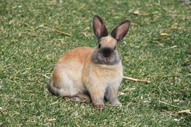 Conejo grande en la hierba fotos de archivo libres de regalías