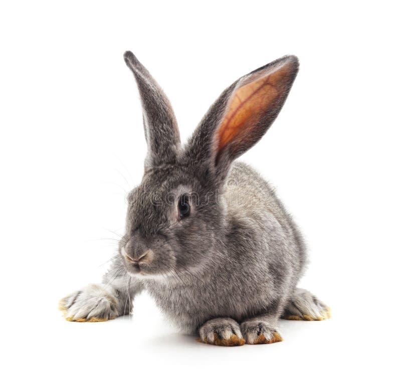 Conejo grande gris foto de archivo