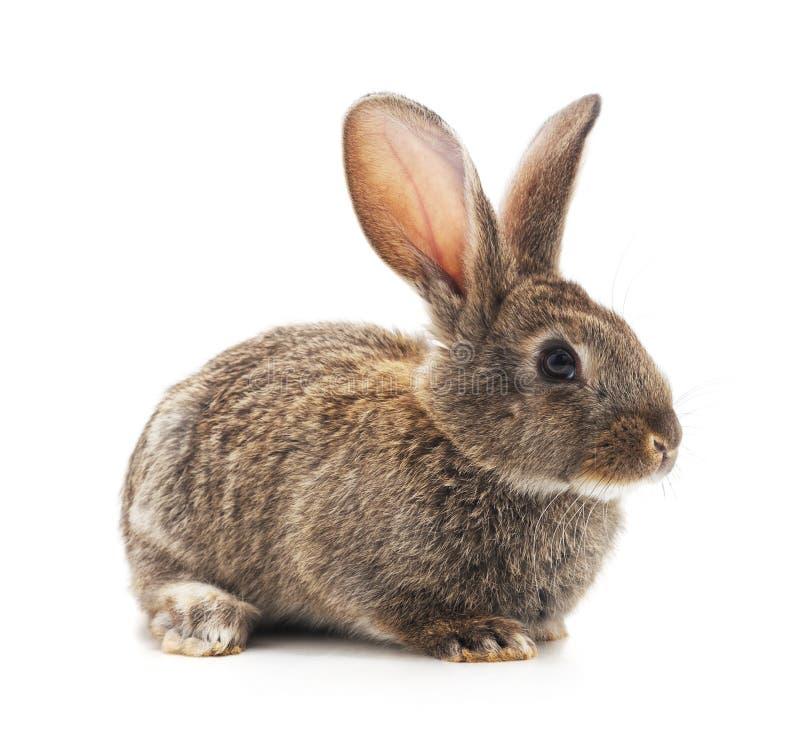 Conejo grande gris fotos de archivo libres de regalías