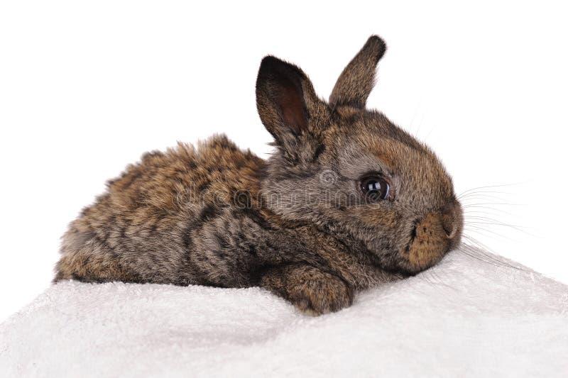 Conejo gris del bebé fotos de archivo