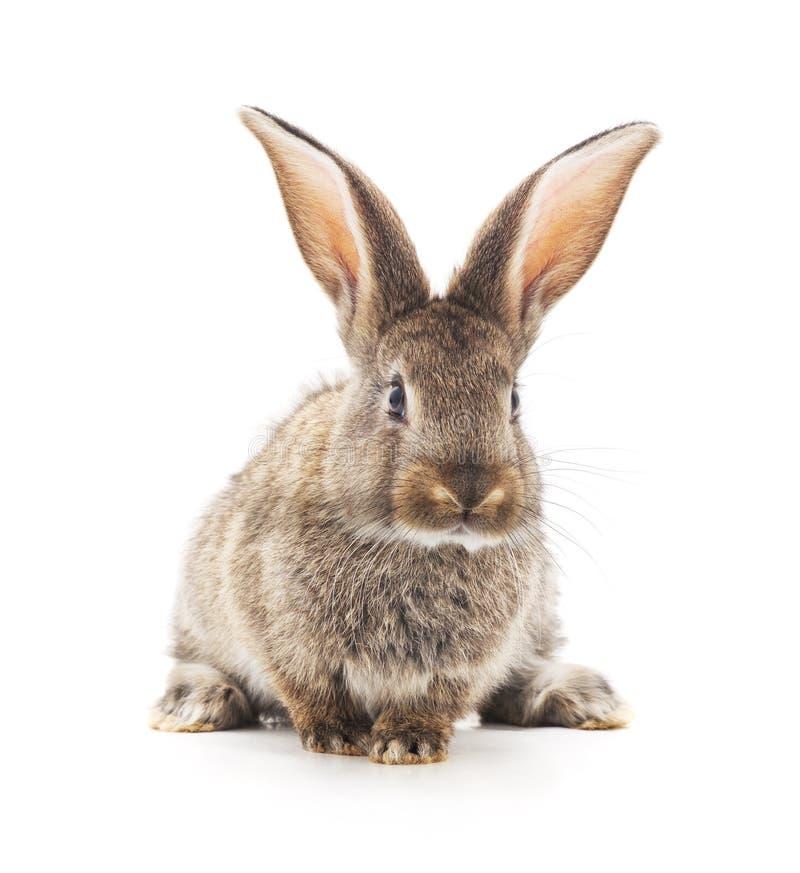 Conejo gris del beb? fotografía de archivo