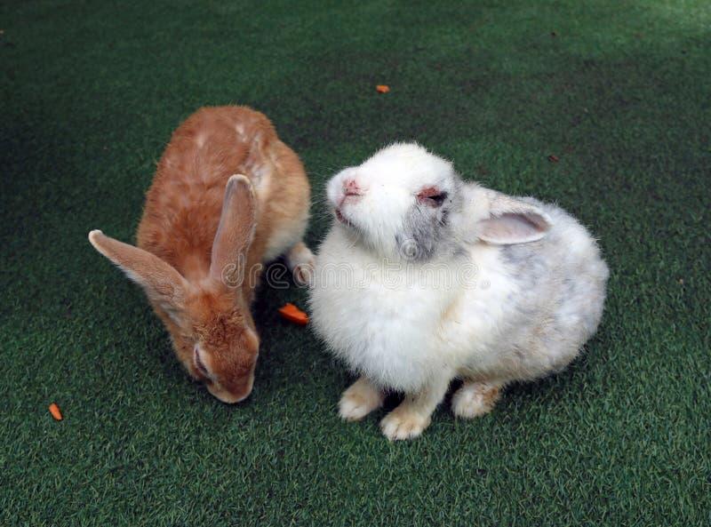 Conejo gris del conejo de Brown y blanco que se sienta en la hierba artificial verde Es el cavarar, gregario, planta-comiendo el  imagen de archivo libre de regalías