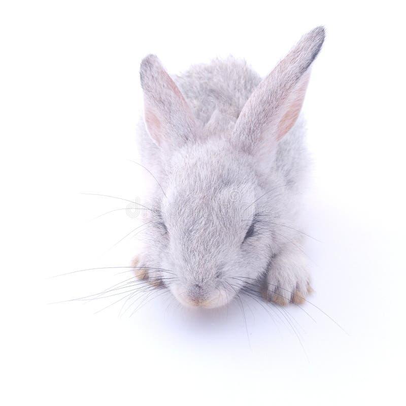 Conejo gris hermoso con el fondo blanco fotografía de archivo