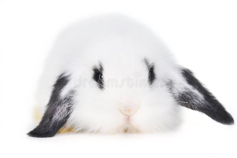 Conejo hermoso imagenes de archivo