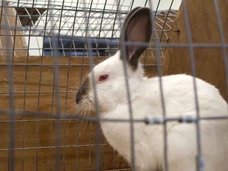 Conejo Himalayan enjaulado fotografía de archivo