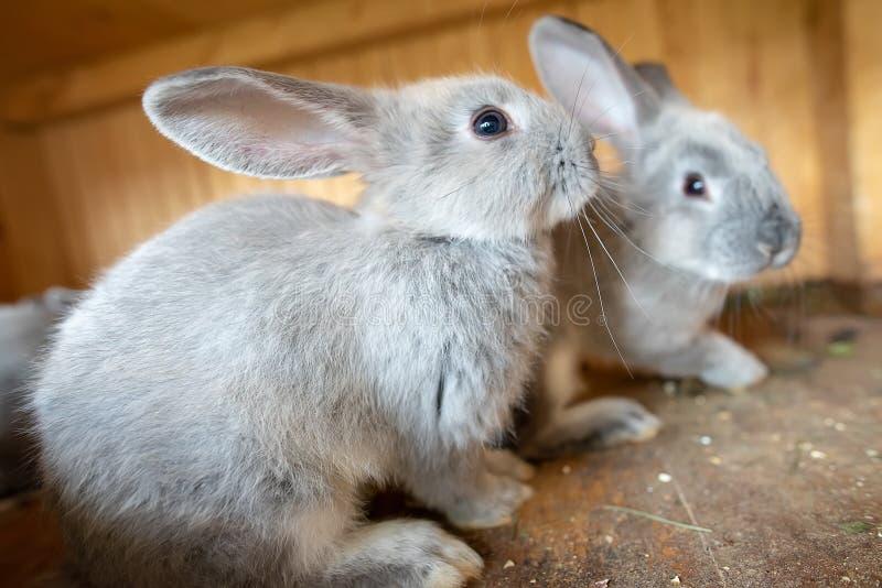 Conejo joven dentro de la jaula de madera en la granja el tiempo de pascua imágenes de archivo libres de regalías