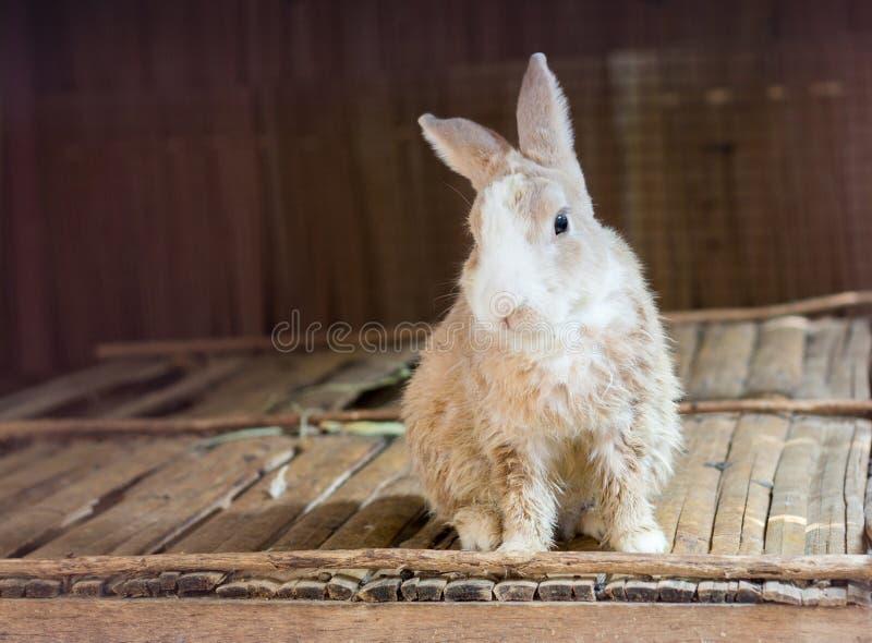 Conejo joven en la tabla de madera foto de archivo libre de regalías