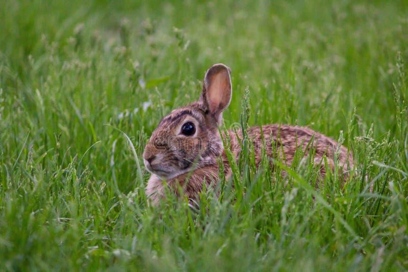 Conejo lindo salvaje que se incorpora en la hierba en un tiro verde del campo de cercano imagen de archivo libre de regalías