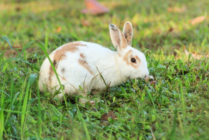 Conejo marrón blanco fotografía de archivo