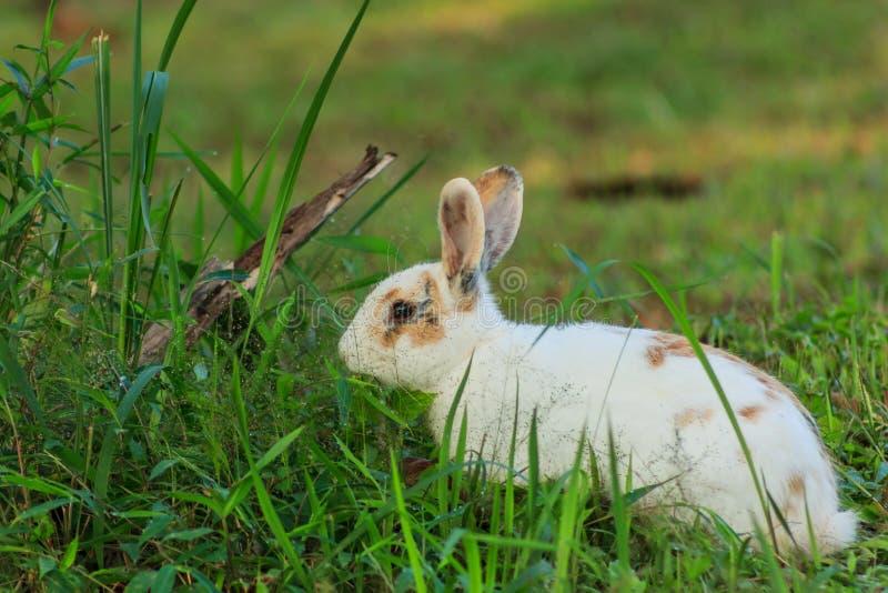 Conejo marrón blanco imagenes de archivo