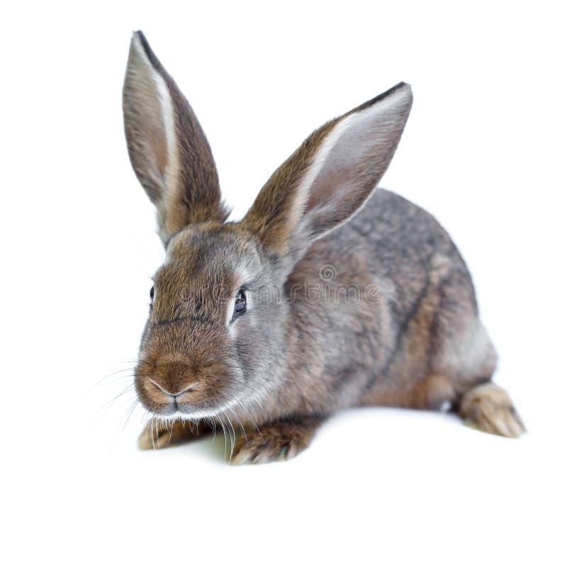 Conejo marrón europeo joven en el fondo blanco fotos de archivo libres de regalías