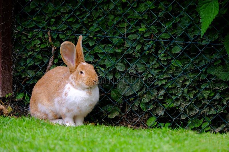Conejo mullido con la piel blanca y roja en la hierba imagenes de archivo