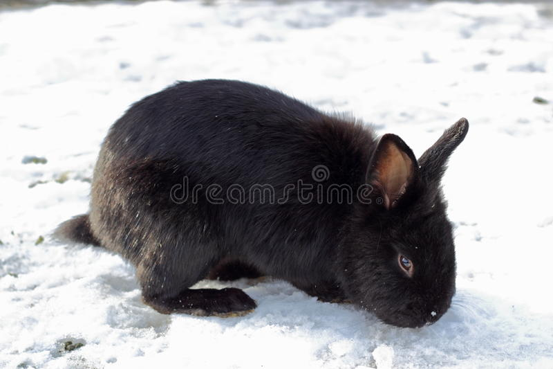 Conejo negro imagen de archivo libre de regalías