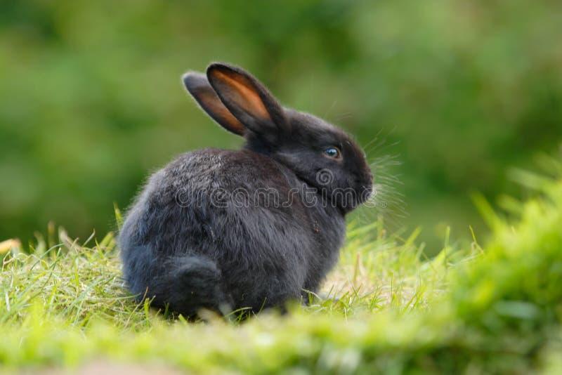 Conejo negro foto de archivo libre de regalías