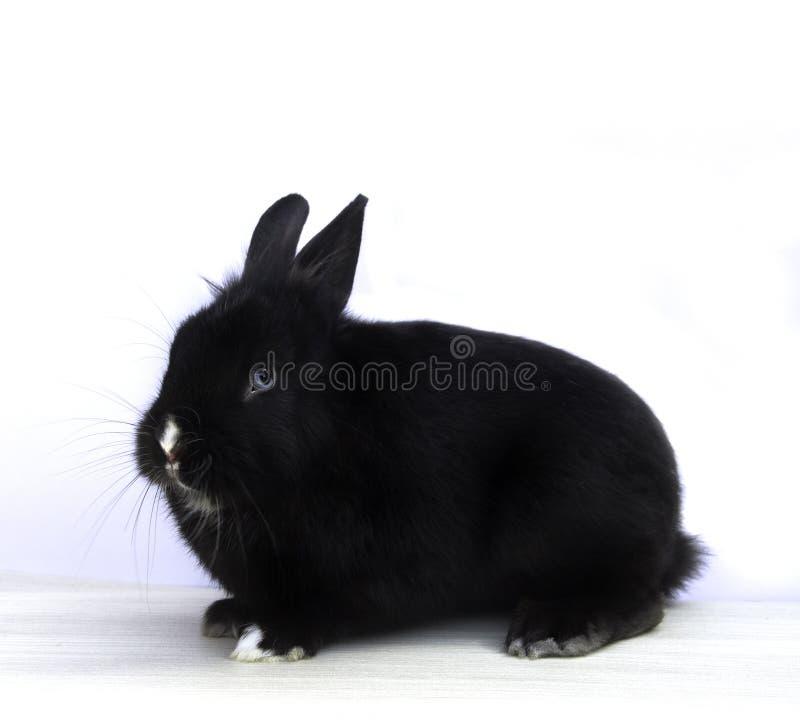 Conejo negro fotos de archivo