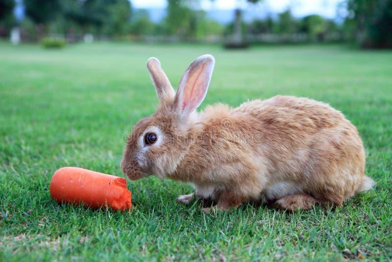 Conejo que come la zanahoria imagen de archivo