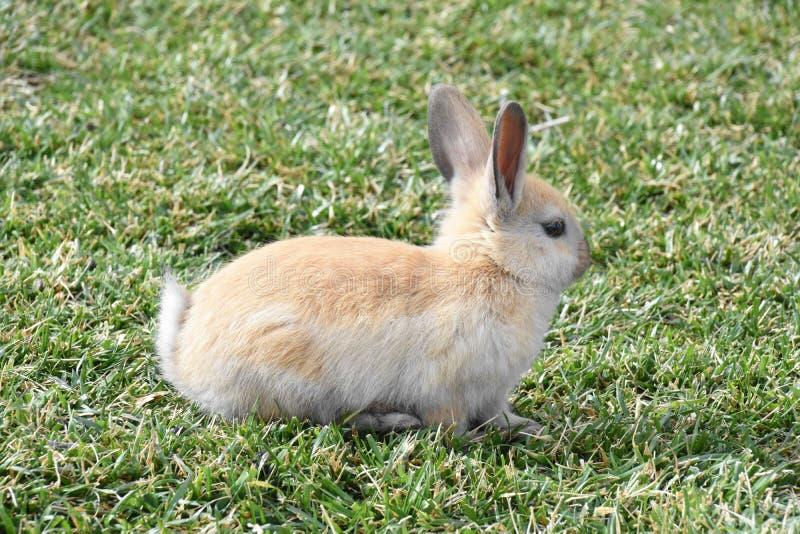Conejo que mira encima de la hierba foto de archivo