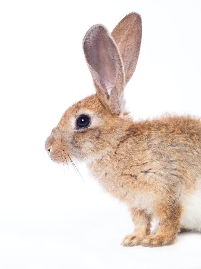 Conejo rojo imágenes de archivo libres de regalías