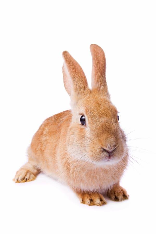 Conejo rojo aislado en el fondo blanco imagenes de archivo