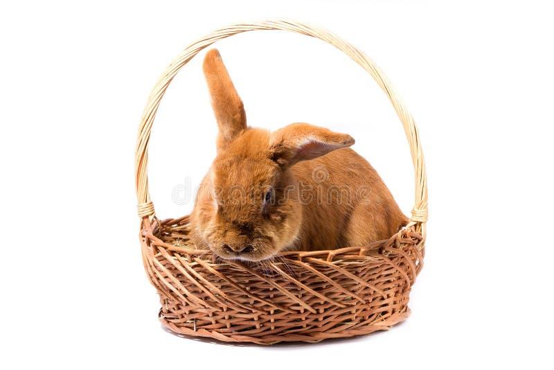 Conejo rojo mullido grande en una cesta, aislante fotos de archivo
