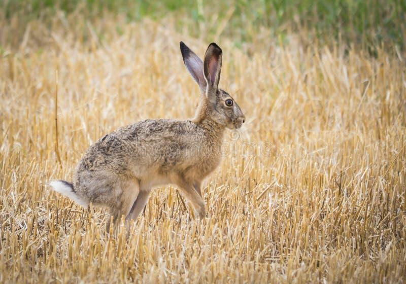 Conejo salvaje imagen de archivo libre de regalías
