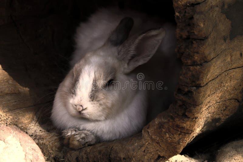 Conejo salvaje lindo y mullido Silit en la casa bajo la forma de tronco de árbol viejo, mullido en el refugio fotos de archivo libres de regalías