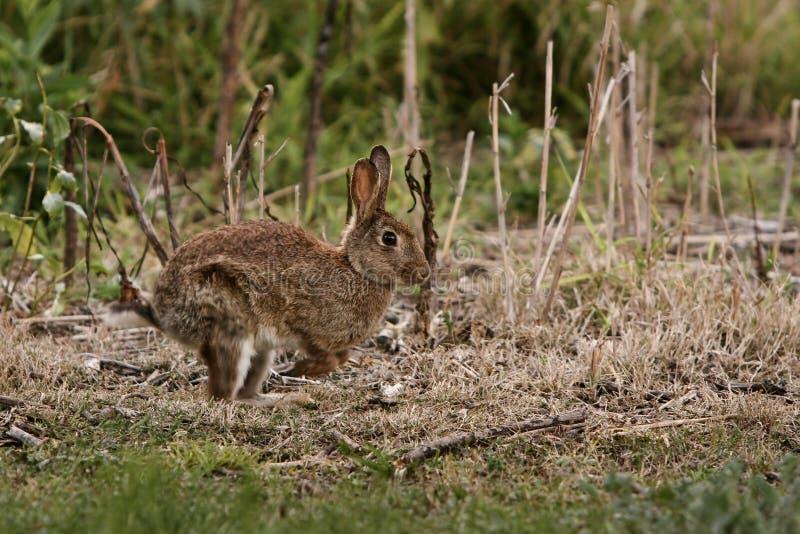 Conejo salvaje que se ejecuta a través de arbusto. foto de archivo