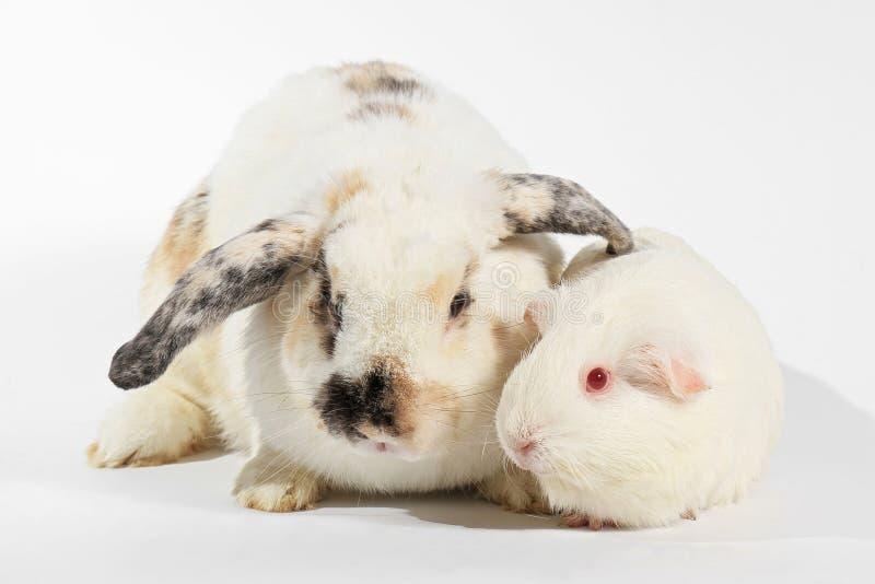 Conejo y conejillo de Indias del blanco fotografía de archivo libre de regalías