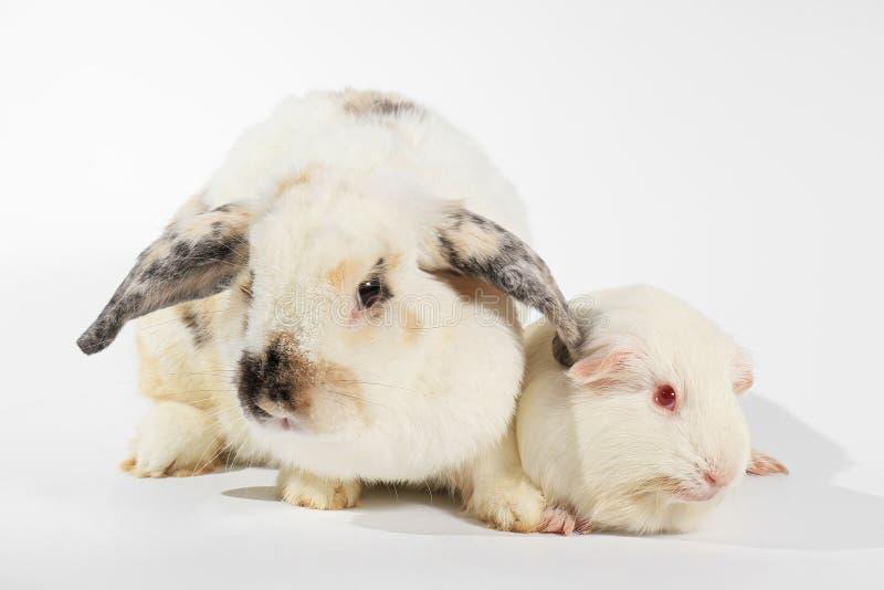 Conejo y conejillo de Indias del blanco imagenes de archivo