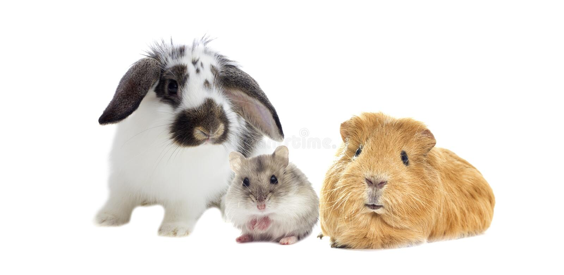 Conejo y el hámster y el conejillo de Indias fotos de archivo libres de regalías
