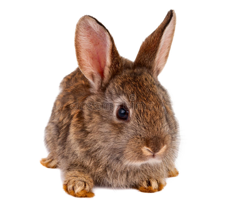Conejos aislados foto de archivo