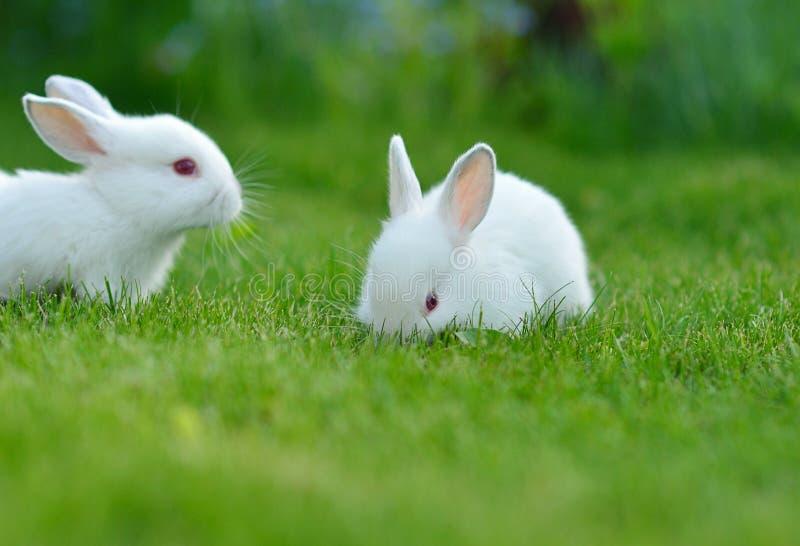 Conejos blancos del bebé divertido en hierba foto de archivo
