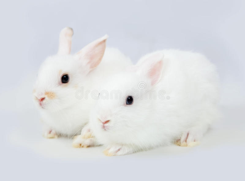 Conejos blancos en gris fotos de archivo